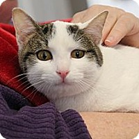 Domestic Shorthair Cat for adoption in Knoxville, Tennessee - Garbo
