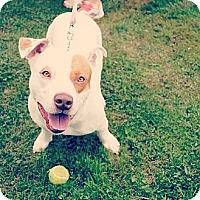 Adopt A Pet :: Bandit - Pittsbugh, PA