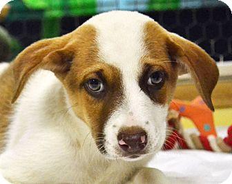 Blue Heeler Mix Puppy for adoption in Searcy, Arkansas - Elsa