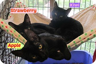 Domestic Shorthair Cat for adoption in Menomonie, Wisconsin - Kiwi