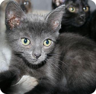 Domestic Shorthair Kitten for adoption in Whittier, California - Thumbelina