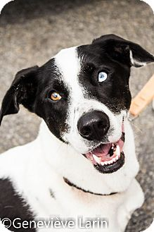 Pointer/Dalmatian Mix Dog for adoption in Pierrefonds, Quebec - Johnny