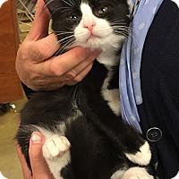 Adopt A Pet :: Tootsie - Cranford/Rartian, NJ