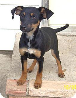 Miniature Pinscher/Beagle Mix Puppy for adoption in Minneapolis, Minnesota - Molly