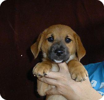 Golden Retriever/Australian Shepherd Mix Puppy for adoption in Oviedo, Florida - Honey