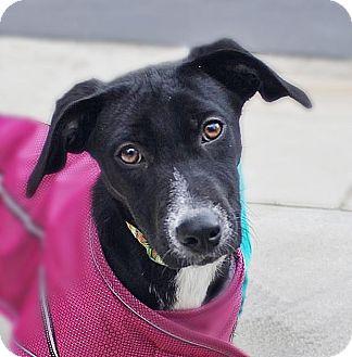 Labrador Retriever/Whippet Mix Puppy for adoption in Monroe, North Carolina - Kyra