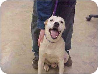 Labrador Retriever/Pit Bull Terrier Mix Dog for adoption in Burnsville, North Carolina - Sampson