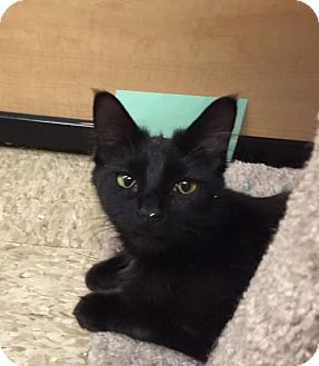 Bombay Cat for adoption in Atlanta, Georgia - Apple