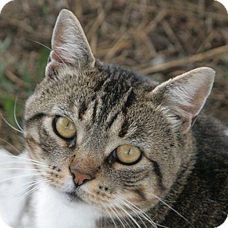 Domestic Shorthair Cat for adoption in Port Angeles, Washington - Romeo