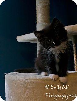 """Domestic Longhair Kitten for adoption in Arlington, Virginia - """"B"""" Kittens- Girls"""