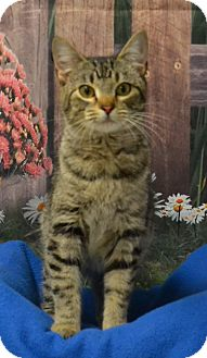 Domestic Shorthair Cat for adoption in Lebanon, Missouri - Trixie