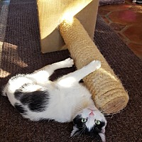 Domestic Shorthair Cat for adoption in Monrovia, California - Harleigh (Slim Pickens)
