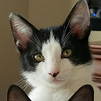 Domestic Shorthair Cat for adoption in Spring, Texas - Charlie Chaplin