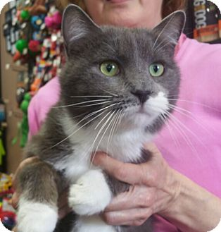 Domestic Shorthair Cat for adoption in Reston, Virginia - Dexter