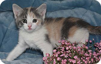 Domestic Shorthair Kitten for adoption in Bristol, Connecticut - Ginger