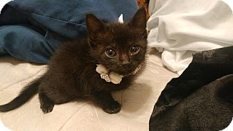 Domestic Shorthair Kitten for adoption in Homestead, Florida - Luna Kitten (courtesy julia)