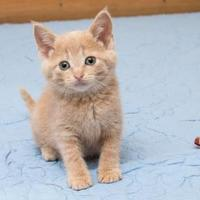 Adopt A Pet :: Kumquat - Madison, WI
