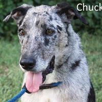 Adopt A Pet :: Chuck - Tahlequah, OK
