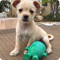 Adopt A Pet :: Ida - Irvine, CA