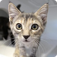 Domestic Mediumhair Kitten for adoption in Red Bluff, California - Sandy
