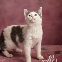 Adopt A Pet :: Cattin'Merica - Harrisonburg, VA