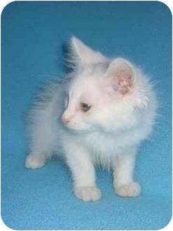 Domestic Longhair Kitten for adoption in Seattle c/o Kingston 98346/ Washington State, Washington - lucky