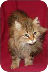 Maine Coon Kitten for adoption in Farmington, Michigan - Tally