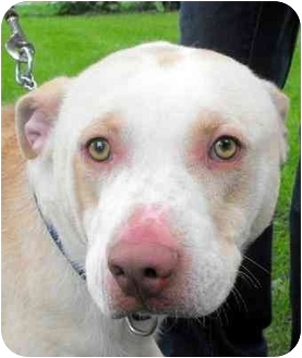 American Pit Bull Terrier/Pit Bull Terrier Mix Dog for adoption in Danville, Kentucky - YAGER