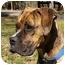 Photo 3 - Boxer Dog for adoption in Mocksville, North Carolina - Sadie