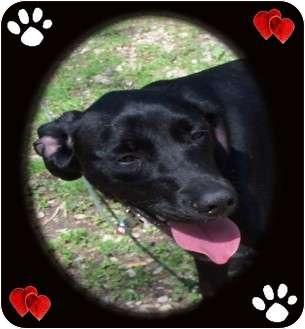 Labrador Retriever Mix Dog for adoption in Cincinnati, Ohio - Tommy