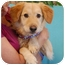 Photo 1 - Golden Retriever Mix Dog for adoption in Las Vegas, Nevada - Vegas