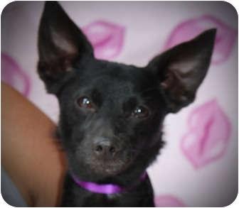 Toy Fox Terrier/Pomeranian Mix Dog for adoption in Kokomo, Indiana - Black'Jack'