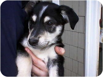 Husky/Shepherd (Unknown Type) Mix Puppy for adoption in Carey, Ohio - Jackie