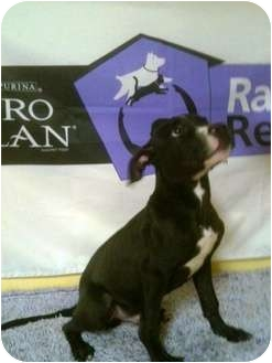 American Pit Bull Terrier Mix Dog for adoption in Lancaster, Kentucky - Collin