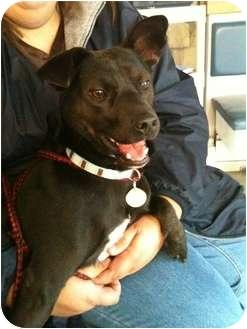 Manchester Terrier/Schipperke Mix Dog for adoption in mishawaka, Indiana - Sinbad