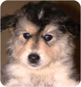 Husky/Alaskan Malamute Mix Puppy for adoption in Oswego, Illinois - I'M ADOPTED SBL Kyra Hames