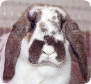 Mini Lop Mix for adoption in Rockville, Maryland - BELINDA IS ADOPTED