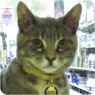 Domestic Shorthair Cat for adoption in Weatherford, Texas - Mars