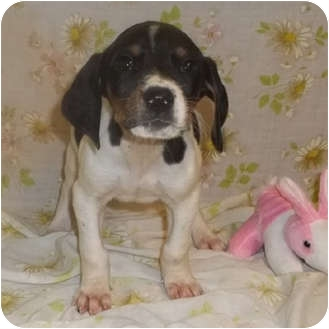 Beagle Mix Puppy for adoption in Bel Air, Maryland - Gigi