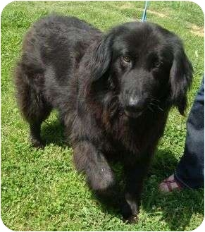 Flat-Coated Retriever/Golden Retriever Mix Dog for adoption in Windham, New Hampshire - Fiona Urgent/reduced
