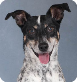 Cattle Dog Mix Dog for adoption in Chicago, Illinois - Mickey