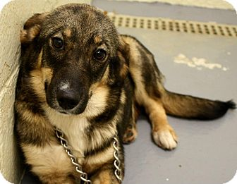 Norwegian Elkhound/Shepherd (Unknown Type) Mix Puppy for adoption in Jersey City, New Jersey - Molly Ringwald