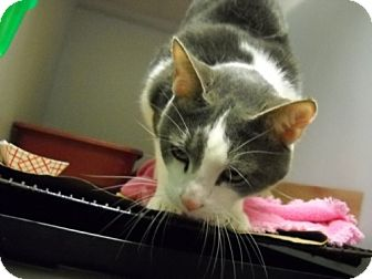 Domestic Shorthair Cat for adoption in Trenton, New Jersey - Irving #36