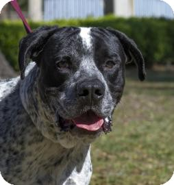 American Bulldog Mix Dog for adoption in Gainesville, Florida - Mater