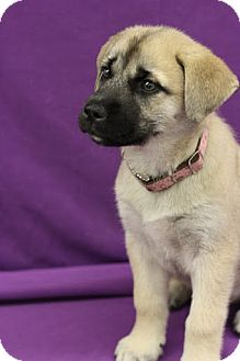 Mastiff/Husky Mix Puppy for adoption in Broomfield, Colorado - Kodiak Bear