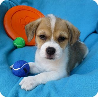 Jack Russell Terrier/Terrier (Unknown Type, Small) Mix Puppy for adoption in Irvine, California - Gimli