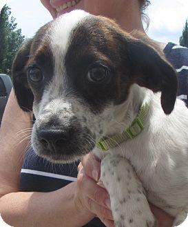 Pointer/Collie Mix Puppy for adoption in Lincolnton, North Carolina - Bonnie