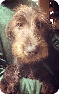 Standard Poodle/German Shepherd Dog Mix Dog for adoption in Gainesville, Florida - Balen