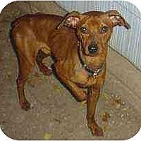 Adopt A Pet :: Red - Florissant, MO