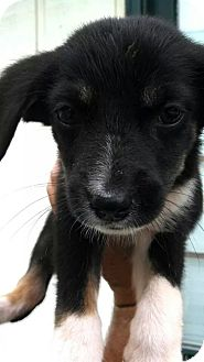 Catahoula Leopard Dog/Hound (Unknown Type) Mix Puppy for adoption in Sweetwater, Tennessee - Ellie